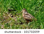 Small photo of American Woodcock
