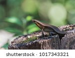 the scientific name is skink... | Shutterstock . vector #1017343321