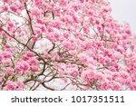 pink flower tree in the park....   Shutterstock . vector #1017351511