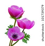 Beautiful Purple Anemone...