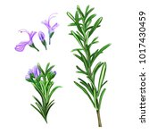 rosemary officinalis drawn on... | Shutterstock . vector #1017430459