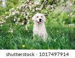 Stock photo golden retriever dog posing outdoors in spring 1017497914