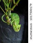 yemen chameleon isolated on... | Shutterstock . vector #1017500179