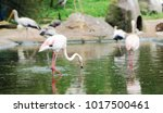 bird in a pond looking for food | Shutterstock . vector #1017500461