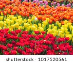 colorful of tulips in garden. | Shutterstock . vector #1017520561