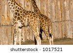 Giraffe Butts Against A Wooden...