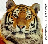 The Amur Or Ussuri Tiger  Or...
