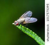 Small photo of Exotic Drosophila Fruit Fly Diptera Insect on Green Grass