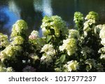 hydrangea bush like nature  | Shutterstock . vector #1017577237