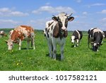 cows  on a summer pasture.  | Shutterstock . vector #1017582121