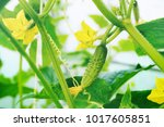 young plant cucumber with... | Shutterstock . vector #1017605851