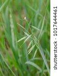 Small photo of green panicle of oat macro
