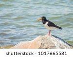 An Eurasian Oystercatcher Bird...