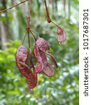 Small photo of Red pods of Leguminosae, fabaceae family, on the banks of the Rio Negro. Amazon, Brazil