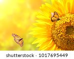 Stock photo sunflower and monarch butterflies danaus plexippus nymphalidae on blurred yellow sunny 1017695449