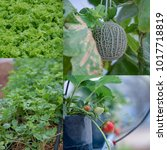 collection hydroponic vegetables   Shutterstock . vector #1017718819