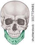 the mandible bone of the... | Shutterstock . vector #1017724681