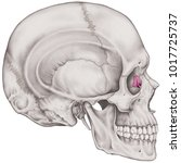 the lacrimal bone of the... | Shutterstock . vector #1017725737