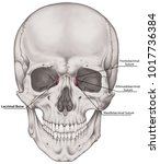 the lacrimal bone of the... | Shutterstock . vector #1017736384