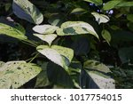 Small photo of Acalypha wilkesiana 'Java White'
