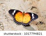 leopard lacewing butterfly ... | Shutterstock . vector #1017794821