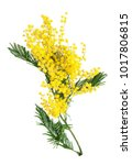 mimosa flowers bunch isolated... | Shutterstock . vector #1017806815