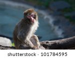 Macaque  Snow  Monkey's At The...