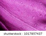 raindrops on tulip background.  ... | Shutterstock . vector #1017857437