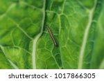caterpillar on a green cabbage...   Shutterstock . vector #1017866305