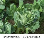 organic cabbage growing in a...   Shutterstock . vector #1017869815