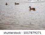 A Family Of Ducks.ducks On The...