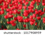red tulip flower   Shutterstock . vector #1017908959