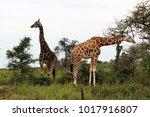 wild giraffes in africa uganda | Shutterstock . vector #1017916807