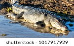 In  australia  reptile...