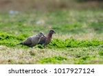 Eurasian Collared Dove And...