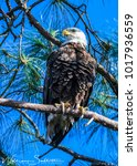 Small photo of An American Eagle searches for it's next meal from a tall Pine tree in Florida.