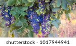 multicolor bunches of...   Shutterstock . vector #1017944941