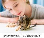 young girl observe the degu... | Shutterstock . vector #1018019875