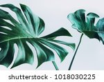 real monstera leaves decorating ... | Shutterstock . vector #1018030225