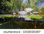 beautiful white water lily ... | Shutterstock . vector #1018030387