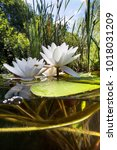 beautiful white water lily ... | Shutterstock . vector #1018031209