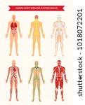 male body internal organs... | Shutterstock .eps vector #1018072201