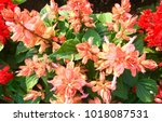 salvia splenden   scarlet sage... | Shutterstock . vector #1018087531