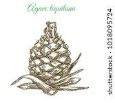 blue agave. plant for... | Shutterstock .eps vector #1018095724