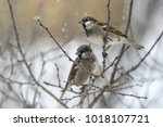 A Couple Of Sparrows In Winter.