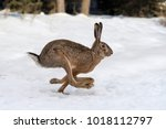 Stock photo hare running in the winter forest 1018112797