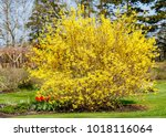 Large Forsythia Shrub Flowerin...