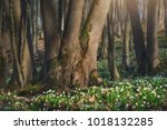many leucojum flowers sprout... | Shutterstock . vector #1018132285