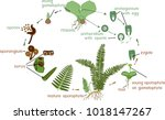 life cycle of fern. plant life... | Shutterstock .eps vector #1018147267