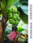 Banana Plant With Fruits And...